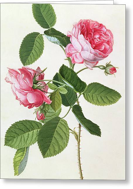 The Common Provence Rose Greeting Card by Georg Dionysius Ehret