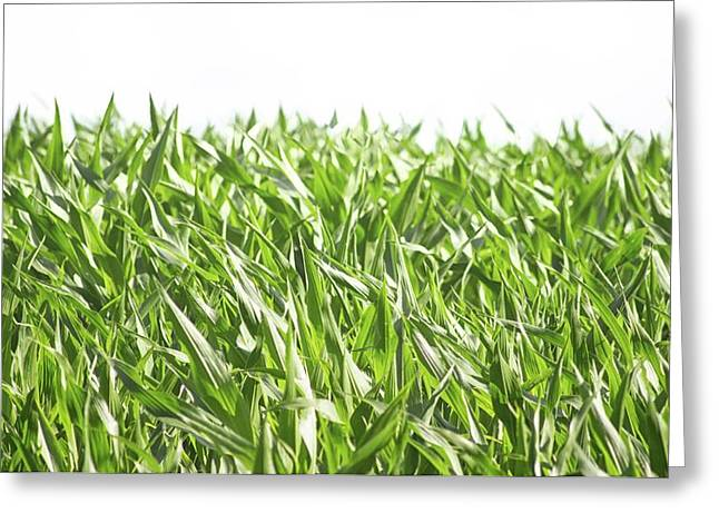 The Corn Field Greeting Card by Martin Newman