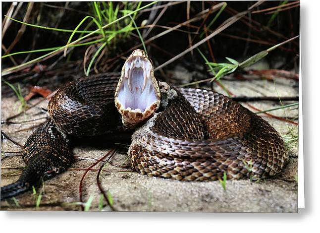 The Cottonmouth Greeting Card by JC Findley