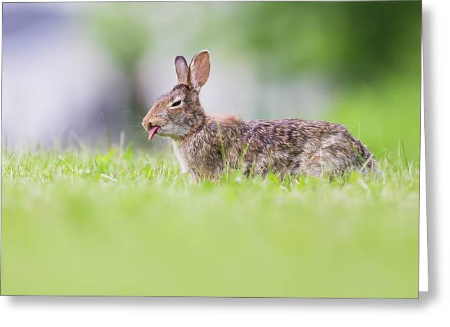 The Cottontail Greeting Card