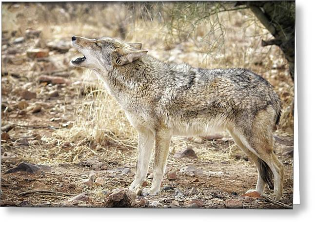 The Coyote Howl Greeting Card