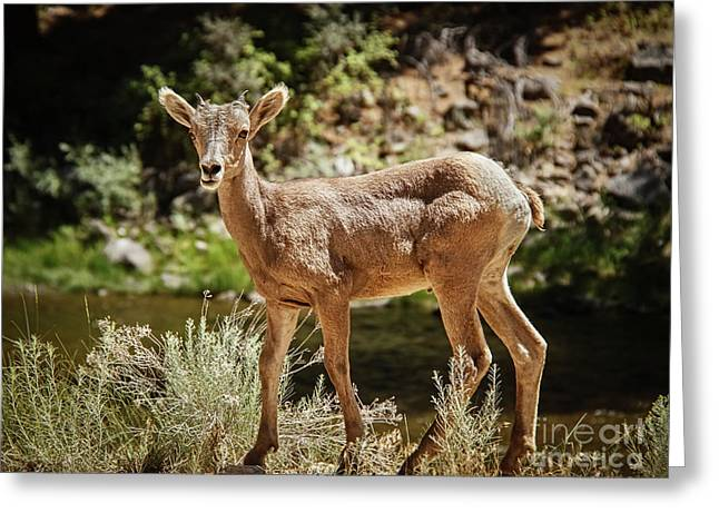 The Cute One Greeting Card by Robert Bales
