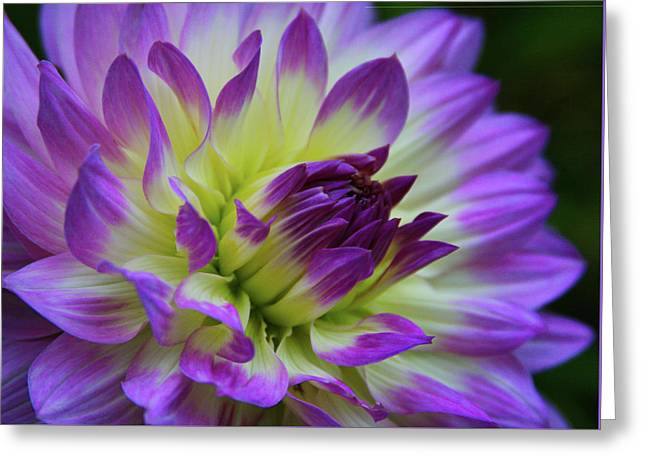 695 Dahlia Greeting Card