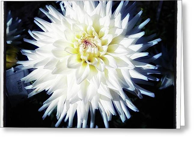 Greeting Card featuring the photograph The Devoted Dahlia. The White Dahlia by Mr Photojimsf