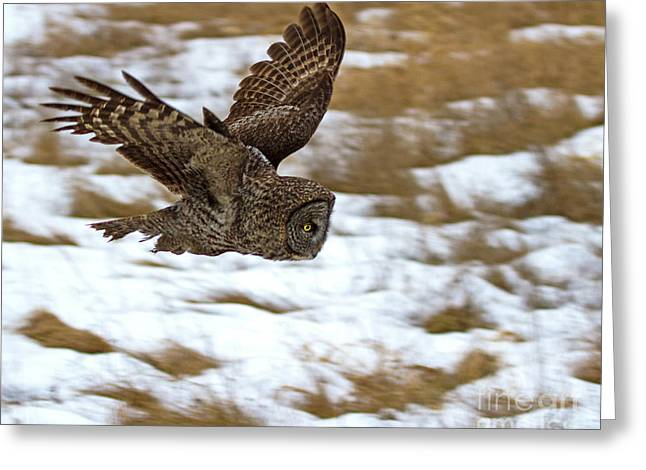 The Dive- Great Gray Owl Greeting Card by Lloyd Alexander