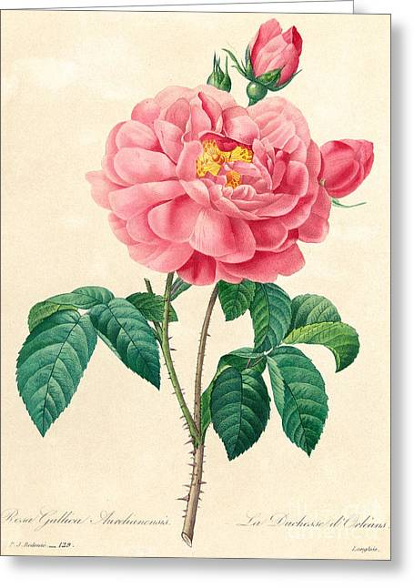 The Duchess Of Orleans Rose Greeting Card