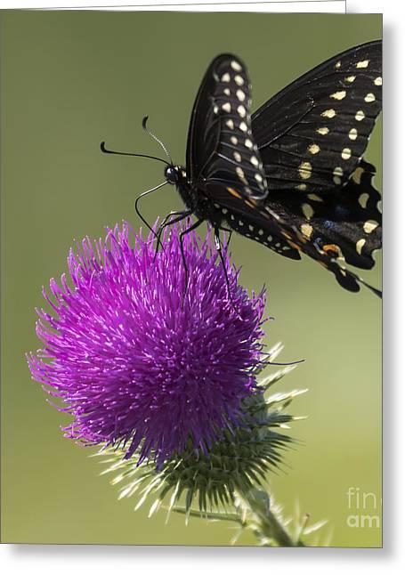 The Eastern Black Swallowtail  Greeting Card