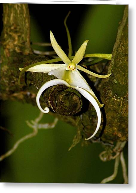 The Elusive And Rare Ghost Orchid Greeting Card