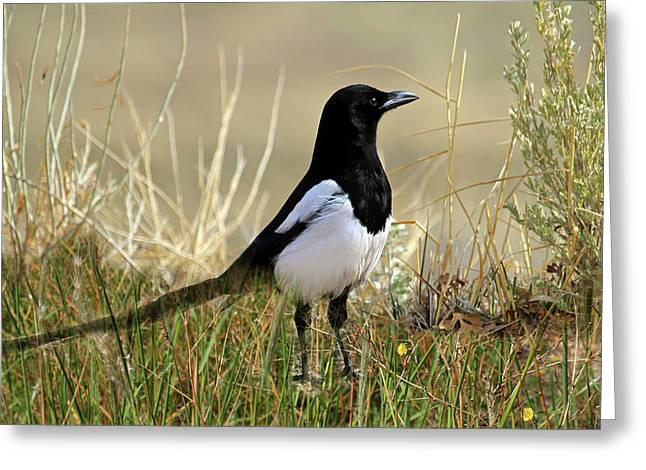 The Elusive Magpie Greeting Card by Donna Kennedy