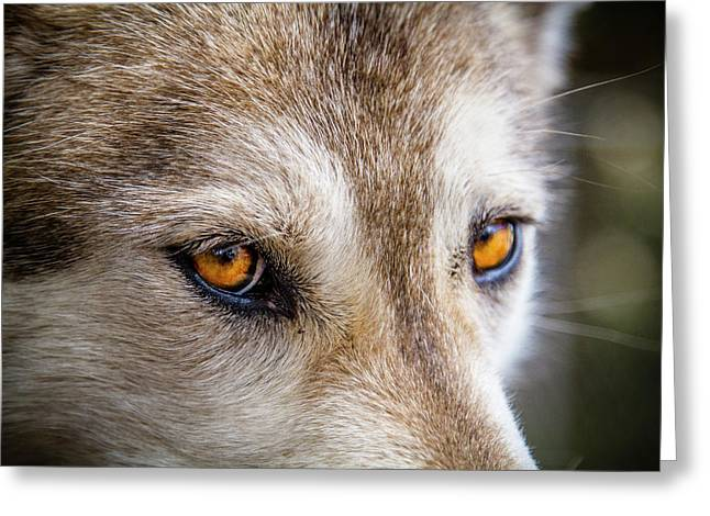 Greeting Card featuring the photograph The Eyes Of A Great Grey Wolf by Teri Virbickis