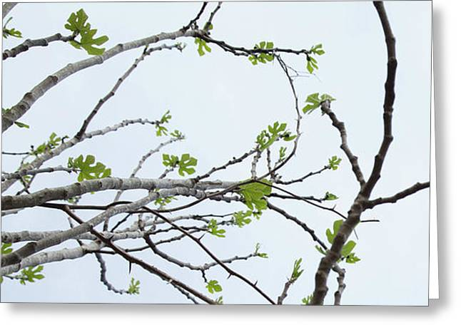 The Fig Tree Budding Greeting Card