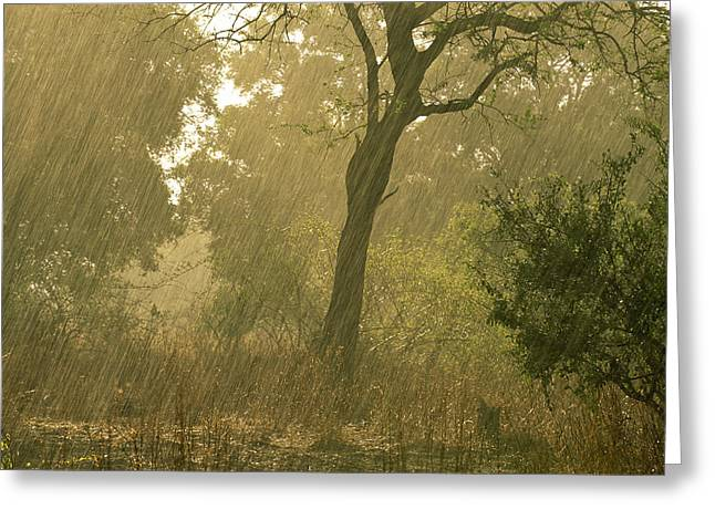 Backlit Greeting Cards - The First Downpour After Six Dry Months Greeting Card by Frans Lanting