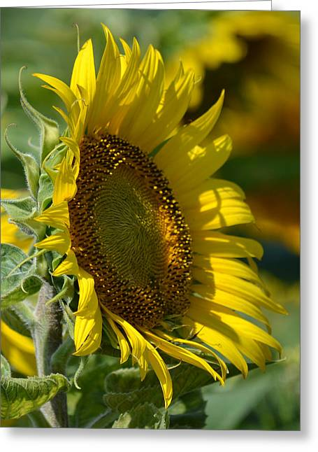 The First Sunflower - Helianthus Greeting Card