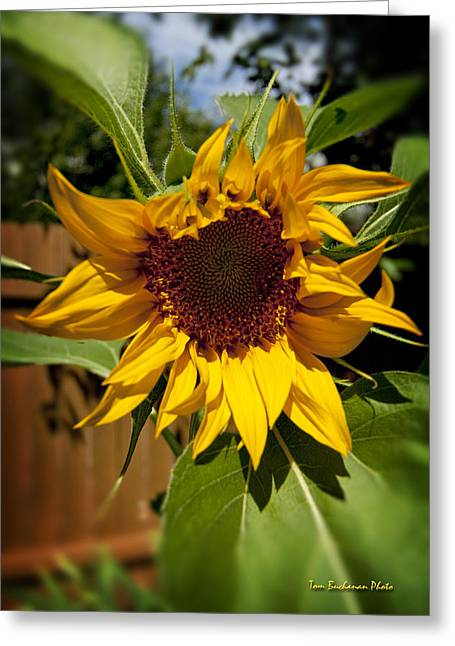 The First Sunflower Greeting Card by Tom Buchanan