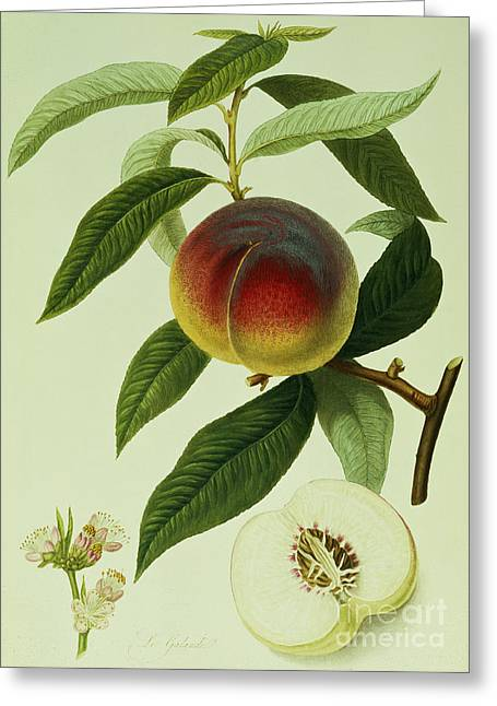The Galande Peach Greeting Card by William Hooker
