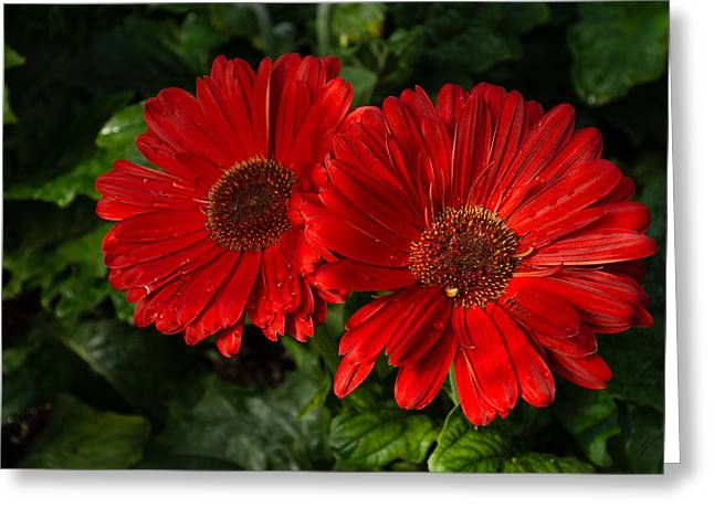 The Glorious Red Duo - Two Scarlet Gerbera Daisies  Greeting Card by Georgia Mizuleva