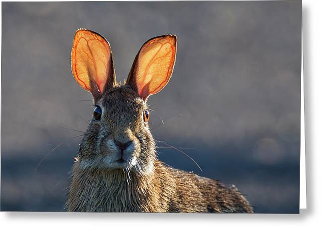 Golden Ears Bunny Greeting Card