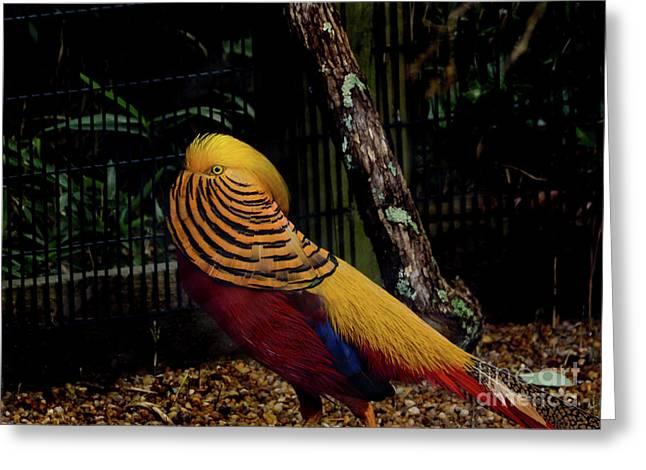 The Golden Pheasant Or Chinese Pheasant -atlanta Ga, Zoo Greeting Card