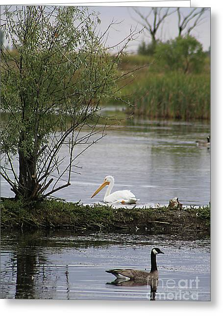Greeting Card featuring the photograph The Goose And The Pelican by Alyce Taylor