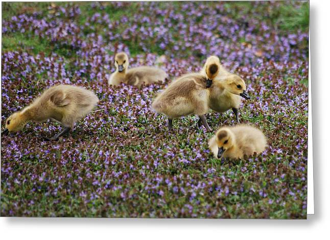 The Gosling Series - Gottcha  Greeting Card by Michelle  BarlondSmith