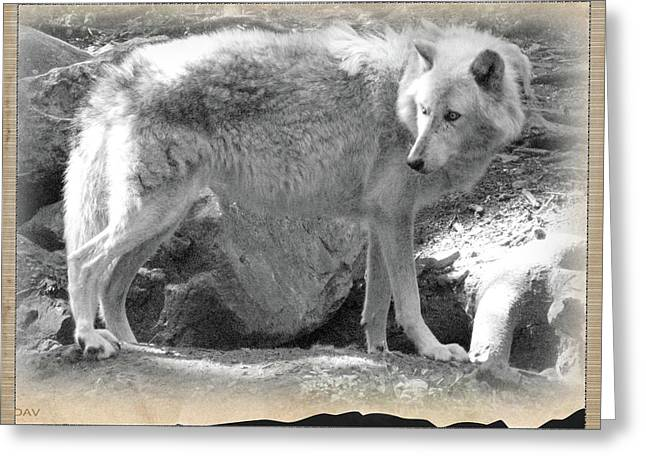 Wolf From The Forest Greeting Cards - The Gray Wolf Greeting Card by Debra     Vatalaro