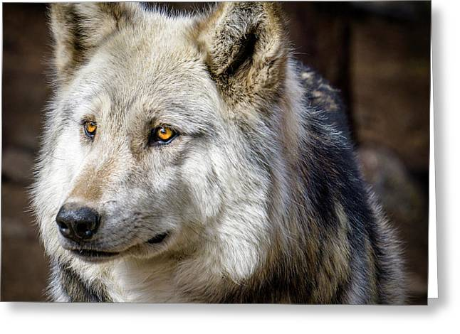 Greeting Card featuring the photograph The Gray Wolf by Teri Virbickis