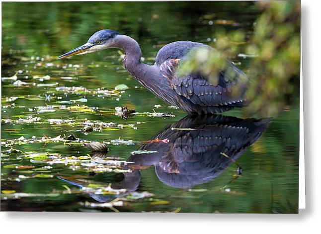 The Great Blue Heron Hunting For Food Greeting Card by David Gn