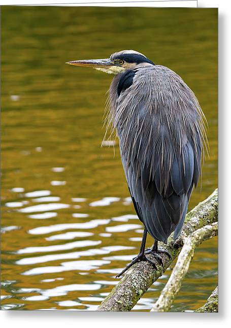 The Great Blue Heron Perched On A Tree Branch Greeting Card by David Gn