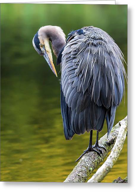 The Great Blue Heron Perched On A Tree Branch Preening Greeting Card by David Gn