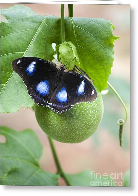 The Great Eggfly Butterfly Greeting Card by Tim Gainey