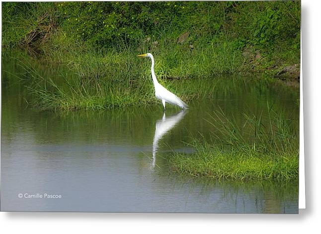 Great Egret By The Waters Edge Greeting Card