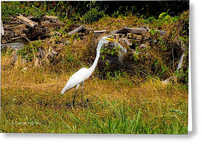 Egret Against Driftwood Greeting Card