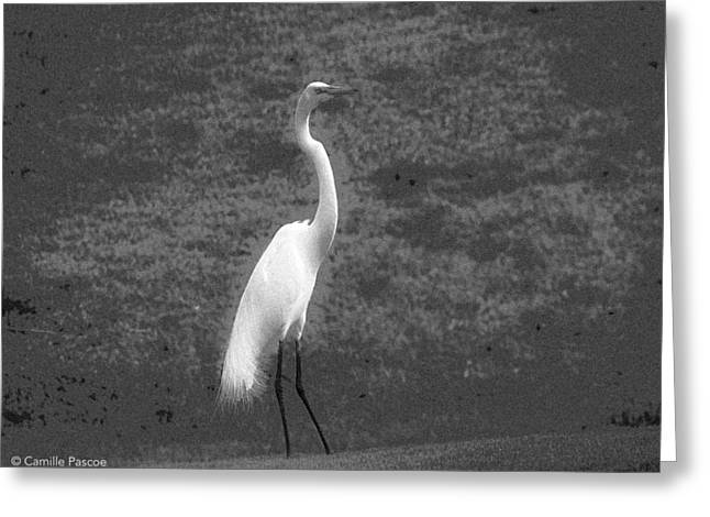 The Great Egret Greeting Card