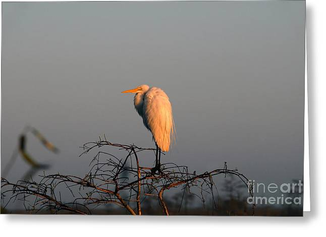 The Great Egret  Greeting Card by David Lee Thompson