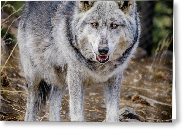 Greeting Card featuring the photograph The Great Gray Wolf by Teri Virbickis