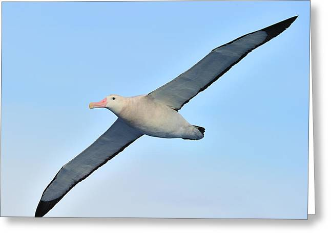 Wanderer Greeting Cards - The Greatest Seabird Greeting Card by Tony Beck