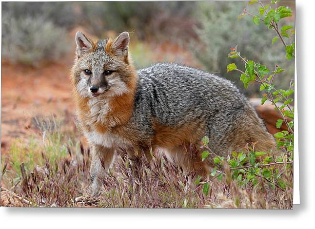 The Grey Fox Trot Greeting Card