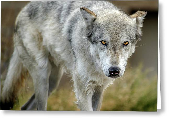 The Grey Wolf Shake Greeting Card