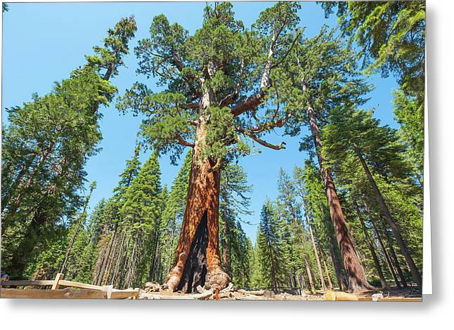 Greeting Card featuring the photograph The Grizzly Giant- by JD Mims