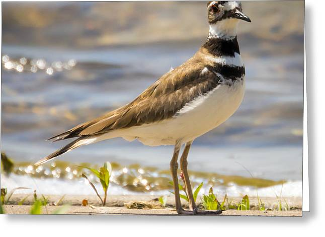 The Handsome Killdeer Greeting Card