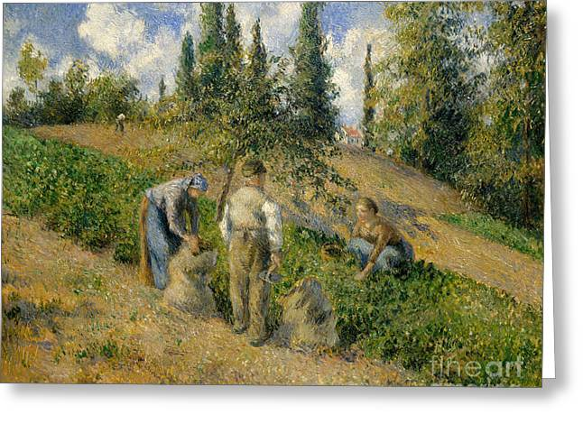 The Harvest, Pontoise, 1881  Greeting Card by Camille Pissarro