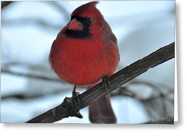 The Haughty Cardinal Greeting Card by Healing Woman