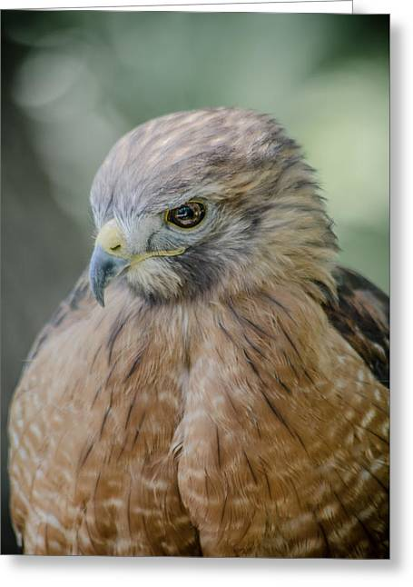 The Hawk Greeting Card by David Collins