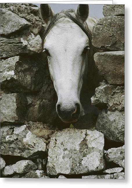 Stone Fence Greeting Cards - The head of a white Greeting Card by Anne Keiser