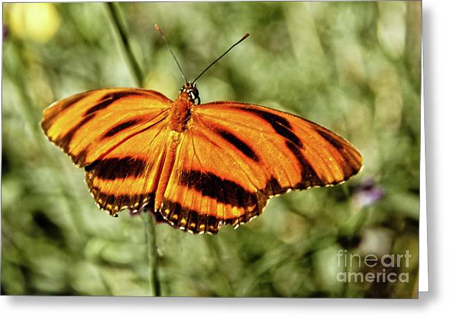 The  Heliconian Butterfly Greeting Card