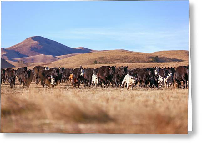 The Herd Races In Greeting Card by Todd Klassy