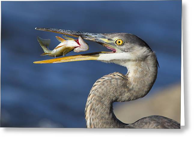 The Heron And The Perch Greeting Card by Mircea Costina Photography