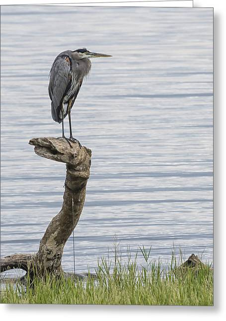 The Herons Pearch  Greeting Card