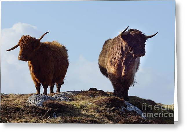 The Highland Cows Greeting Card by Nichola Denny