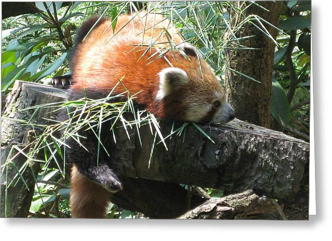 The Infamous Red Panda Greeting Card by Eliot LeBow